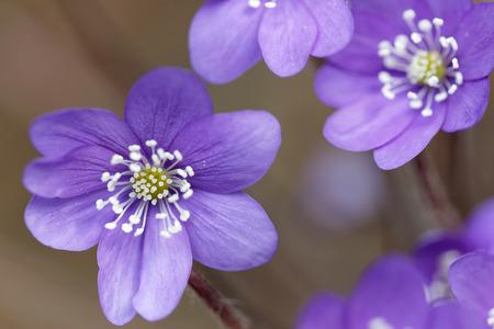 nobilis: Group of blue anemone, closeup (latin: hepatica nobilis).