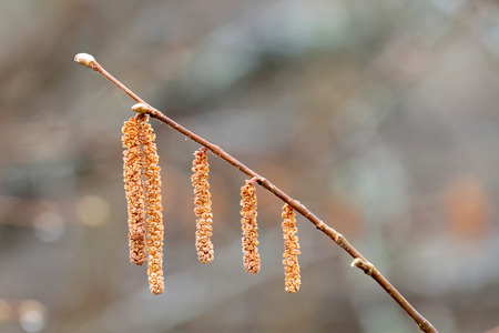 hazel: Hazel catkin closeup in morning light