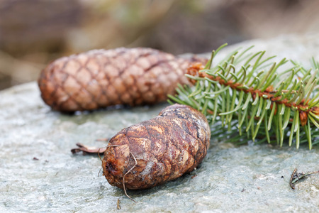 fir cones: Fir cones and spruce needle laying on a rock