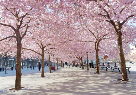 STOCKHOLM, SWEDEN - APRIL 24, 2016: The public park Kungstradgarden with beautiful blooming cherry tree avenue and distant people