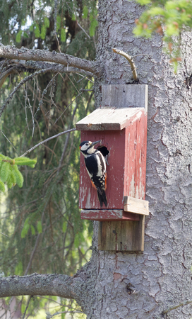 pecker: Woodpecker sitting on a red bird house trying to get the eggs inside