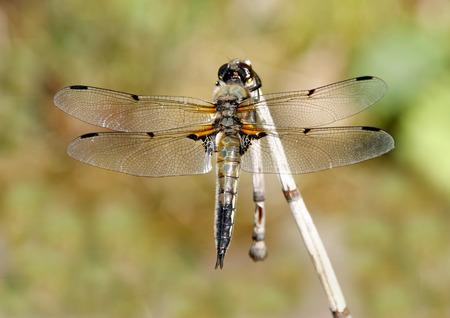 sympetrum: Dragonfly, yellow darter (Sympetrum flaveolum)  sitting on a reed straw