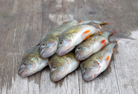 perca: Some newly catched european bass fish laying on a bridge (latin: perca)