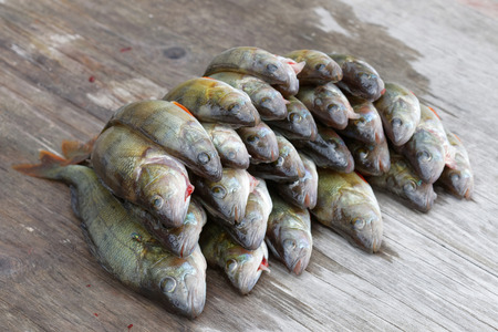 perca: Large group of newly catched european bass fish laying on a bridge (latin: perca)