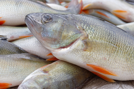 perca: Closeup of newly catched european bass fish laying on a bridge (latin: perca)