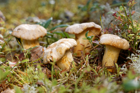 Group of yellow chantarelles in the green moss, closeup Stock Photo