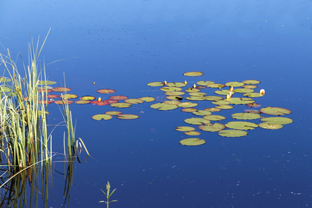 waterlillies: Group of water lily on calm water and reed straw and the blue sky reflecting in the surface Stock Photo
