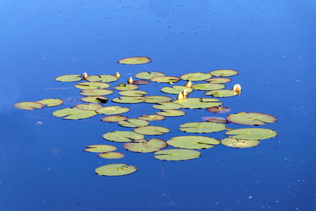 waterlillies: Group of water lily on calm water and the blue sky reflecting in the surface Stock Photo