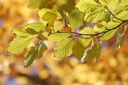 limetree: Warm yellow branch of linden tree during autumn