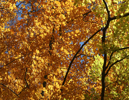limetree: Warm yellow and green leafs on liime tree during autumn
