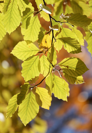 Yellow leafs on lime tree branch during autumn