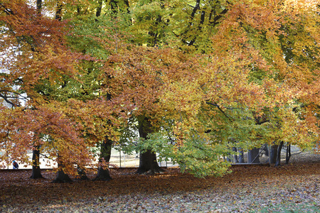 limetree: Linden tree during autumn, red and green leafs