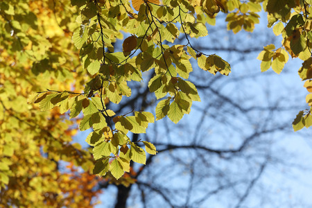 Warm green leafs on lime tree branch during autumn, blue sky and a tree in the background Stock Photo