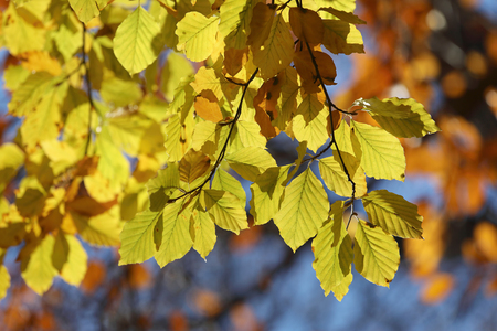 Warm yellow branch of linden tree during autumn, blue sky in the background