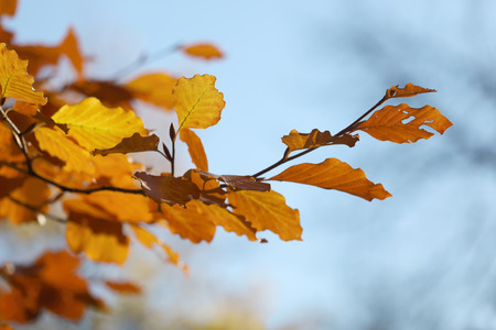 Warm yellow branch of linden tree during autumn
