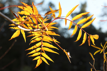 limetree: Yellow branch of a willow tree during autumn