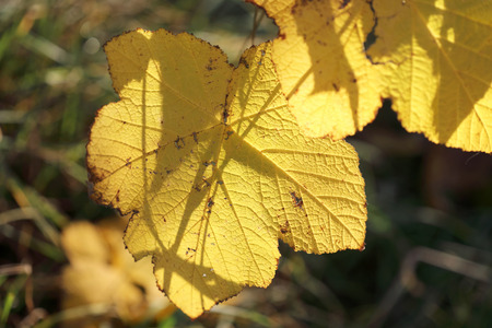limetree: Yellow leafs during autumn