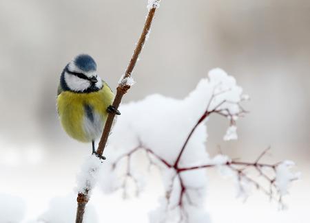 雪で覆われたかわいい青シジュウカラ鳥の枝の上に座って