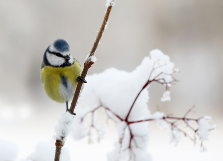 Cute blue tit bird sitting on a branch covered with snow Stock Photo