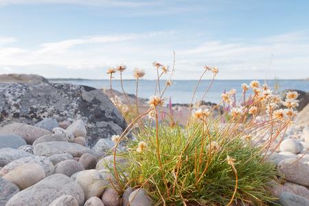 Rocky coastline, closeup of white flowers and blue sea in the swedish archipelago