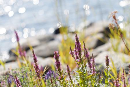 紫色の花がきらめくスウェーデン群島の背景に青い海、岩の多い海岸線に成長しています。短い焦点深度