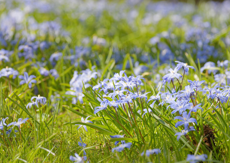 Beautiful blue scilla or squill flowers, short depth of focus