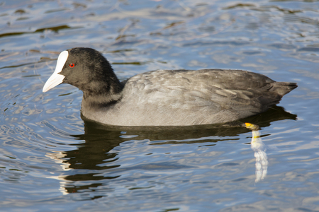 Coot bird swimming in the water