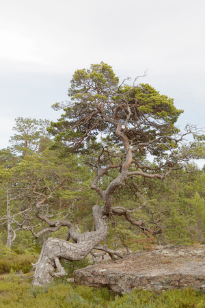 Pine tree forest with very old gnarly trees on Aland, Autonomous province of Finland