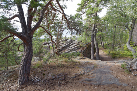 Path in the pine tree forest with very old gnarly trees on Aland, Autonomous province of Finland
