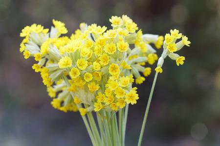Bouquet of yellow cowslip flower (latin name: Primula veris) Banco de Imagens