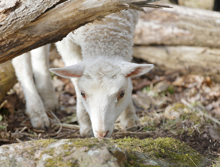 Cute lamb eating moss from a stone in the pasture Stock Photo