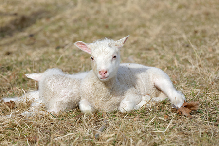 Two cute lamb laying in the grass enjoying the sunshine