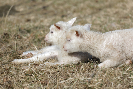 Two cute lamb laying in the grass