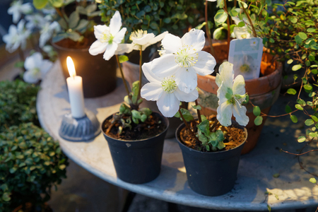 stock photo white christmas flower latin helleborus niger in pots standing on a table together with a candle