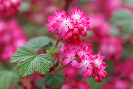 Closeup of red Ribes or Currant flower on the island Oeland in Sweden