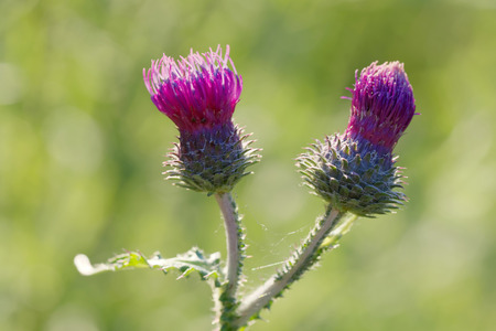 Closeup of purple Thistle flower (latin: Carduus), green unsharp background