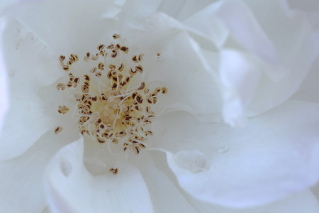 Extreme closeup of pistil and stamens in a white cherry blossom (latin: cerasus flos)