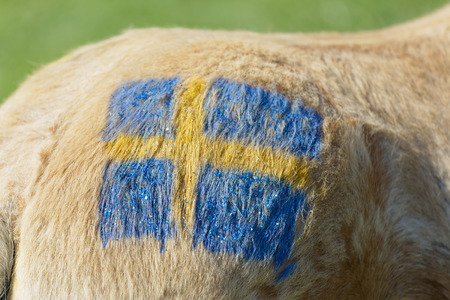 STOCKHOLM, SWEDEN - JUNE 06, 2019: Closeup of a Swedish blue and yellow flag painted on a pony at Nationaldags Galoppen at Gardet. June 6, 2019 in Stockholm, Sweden
