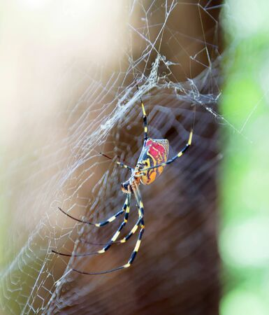 Closeup of the red, yellow and black spider Trichonephila clavata in the spiderweb, also known as Joro spider, member of the golden orb-web spiders