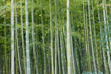 Japanese bamboo forest in Arashiyama close to Kyoto