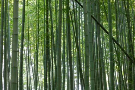 Closeup of Japanese bamboo forest in Arashiyama close to Kyoto