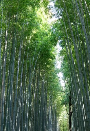 Japanese bamboo forest from below in Arashiyama close to Kyoto