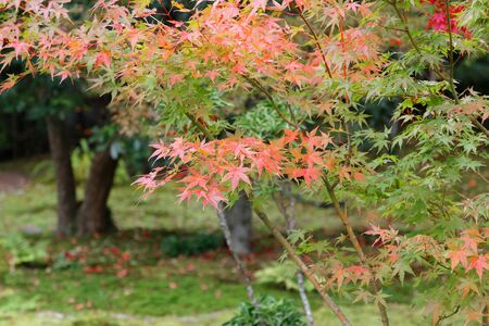 Beautiful maple tree with red and green maple leaves during autumn in Japan