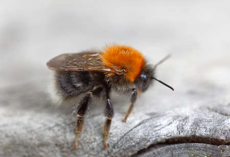 Close up of a bumblebee sitting on a gray plank, side view Standard-Bild