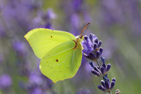 Yellow Brimstone butterfly sitting on a blue lavender flower