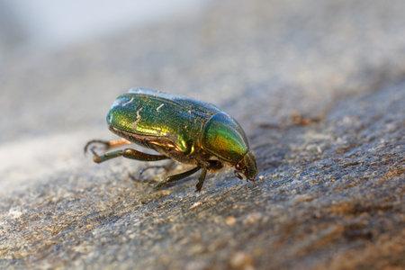 Spectacular metallic green Rose Chafer beetle, closeup. Latin: Cetonia urata