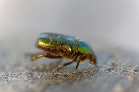 Spectacular metallic green Rose Chafer beetle, closeup. Latin: Cetonia urata. Short depth of focus