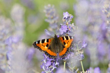 Small tortoise shell butterfly sitting on a blue lavender flower Standard-Bild