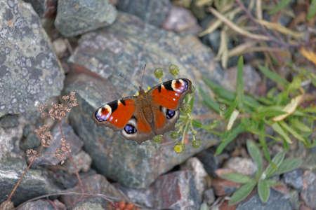 Peacock eye butterfly sitting on a rock, closeup