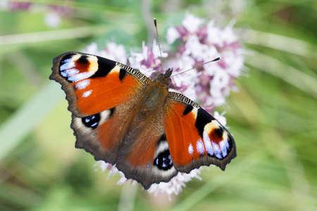 Peacock eye butterfly sitting on a flower, closeup